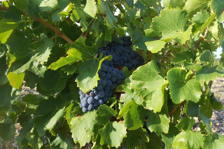 Vignobles du Languedoc Roussillon